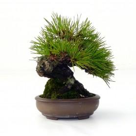 PINO TUMBERGUI JAPONES