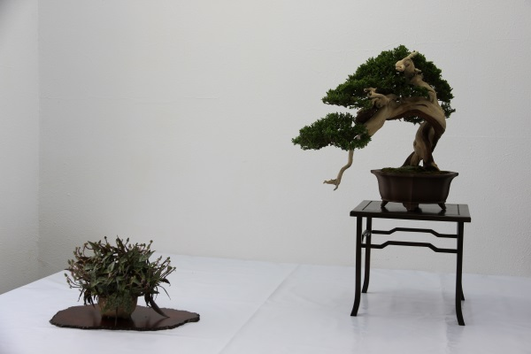 Exposición de bonsai en Egarbonsai